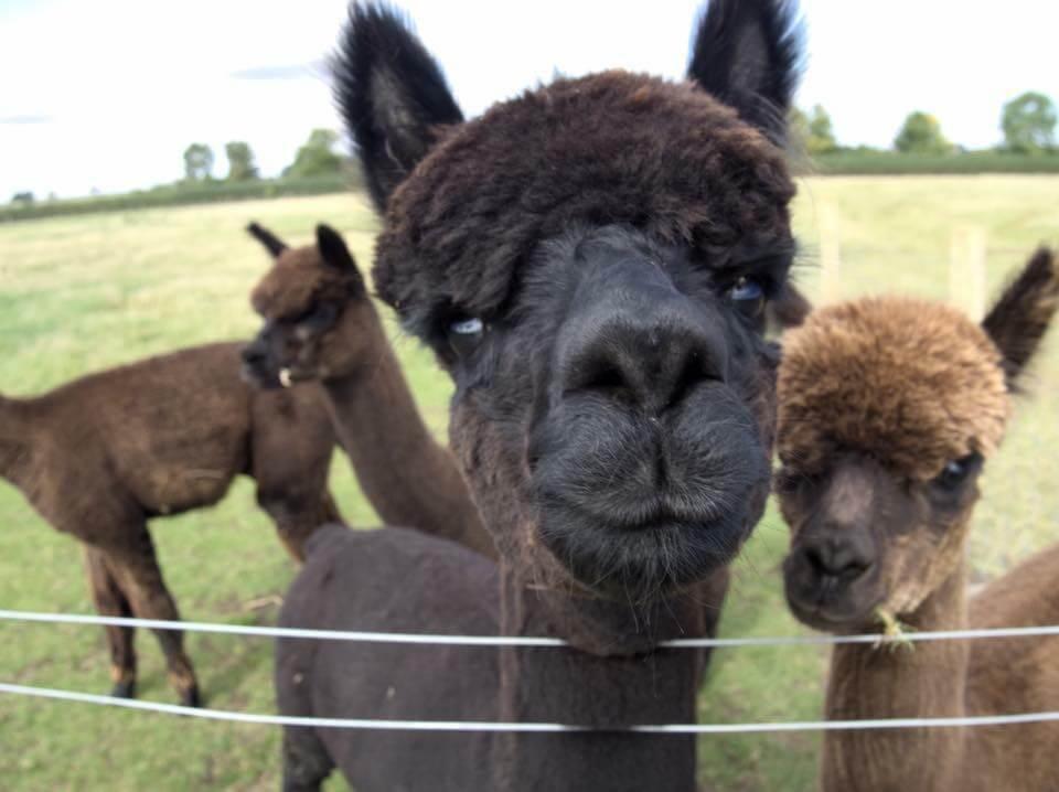 J&J Alpacas alpaca face