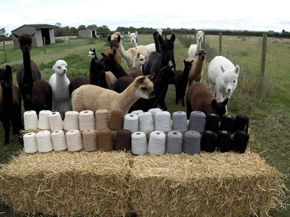 J&J Alpacas wool and alpacas