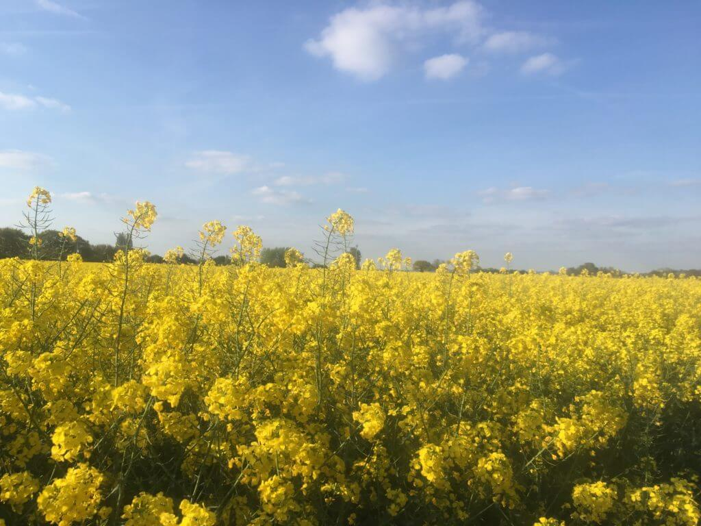 Ownsworth's rape seed field