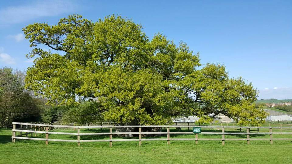 Bowthorpe Oak in summer