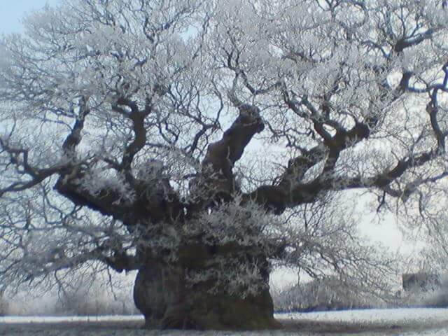 Bowthorpe Oak in winter